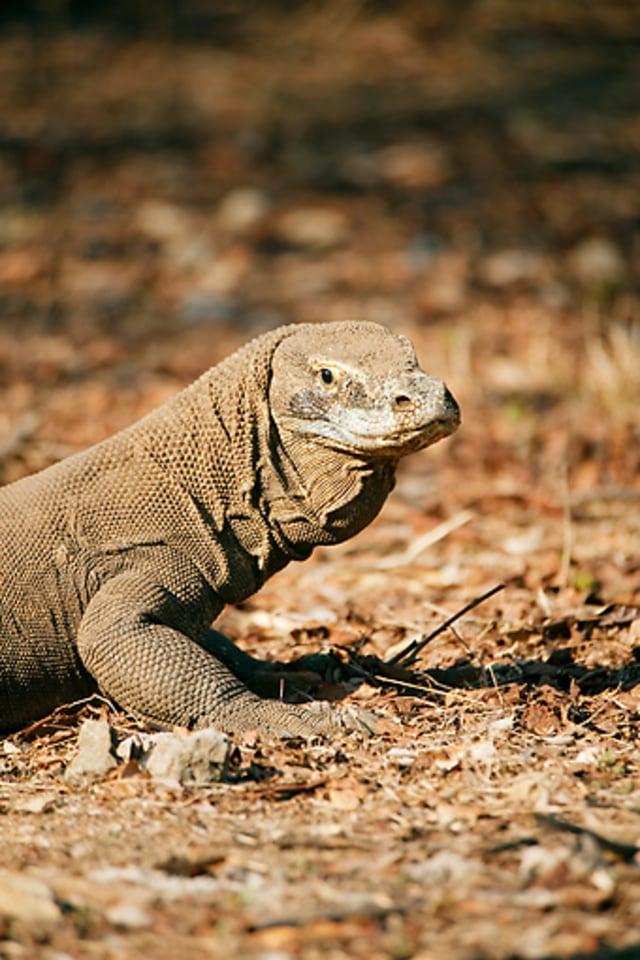 Muncul Komodo Berkepala Kura-kura di Pulau Komodo, Spesies Baru? (30088)
