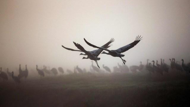 Foto: Potret Migrasi Burung Crane yang Sempat Tertunda Akibat Perubahan Iklim (10844)