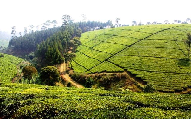 Teh Maroko, Potensi untuk Indonesia? (39200)