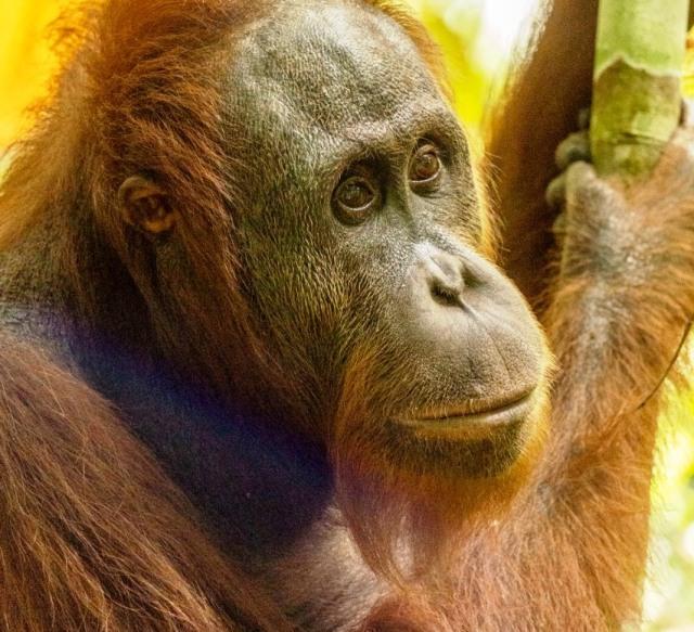 Kisah 5 Orangutan yang Kembali ke Habitatnya di Alam Liar Hutan Hujan Kalimantan (14356)