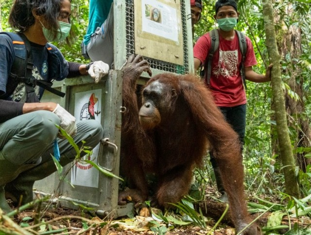 Kisah 5 Orangutan yang Kembali ke Habitatnya di Alam Liar Hutan Hujan Kalimantan (14357)