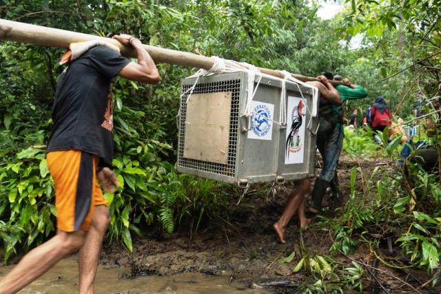 Kisah 5 Orangutan yang Kembali ke Habitatnya di Alam Liar Hutan Hujan Kalimantan (14359)