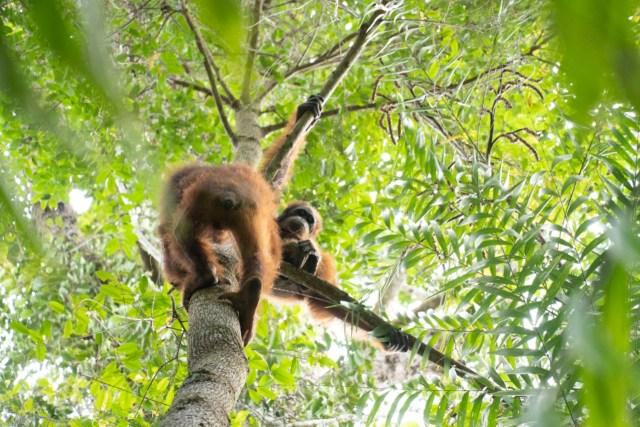 Kisah 5 Orangutan yang Kembali ke Habitatnya di Alam Liar Hutan Hujan Kalimantan (14360)