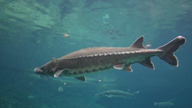 Ikan Prasejarah Zaman Dinosaurus Ini Ditemukan Terdampar Pekan Lalu (52781)