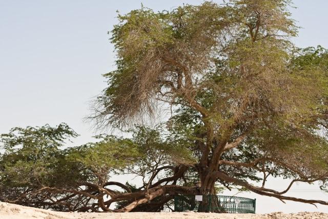Pohon 'Physical Distancing' Itu Menyendiri di Bahrain (40661)