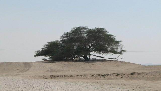 Pohon 'Physical Distancing' Itu Menyendiri di Bahrain (40658)