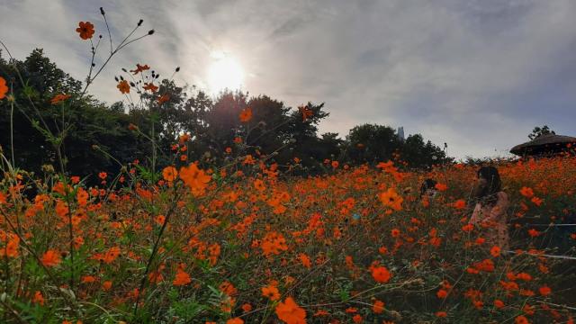 Foto: Pesona Ladang Bunga Olimpic Park, Populer di Korea Selatan (44400)