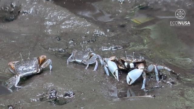 Kepiting, Potensi Menjanjikan di Sorong Selatan (277)