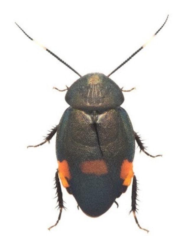 Ilmuwan Jepang Menemukan Spesies Baru Kecoak Setelah 35 Tahun (80096)