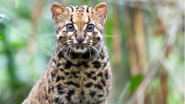 2 Kucing Batu Langka Tertangkap Kamera di Gunung Leuser, Punya Ekor Panjang (52185)