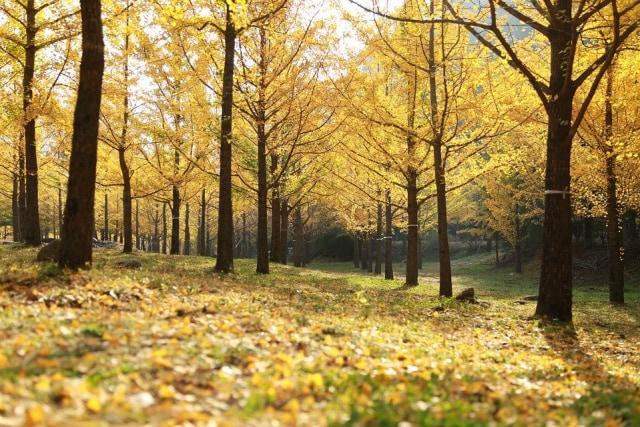 Kisah Pohon Ginkgo yang Selamat dari Kepunahan (41189)