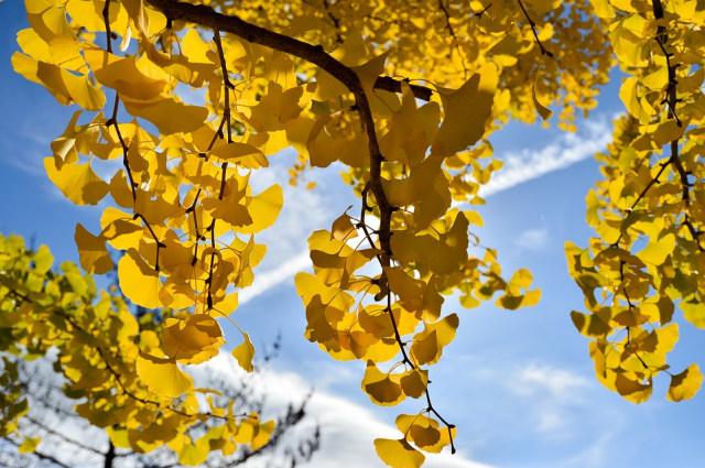 Kisah Pohon Ginkgo yang Selamat dari Kepunahan (41190)