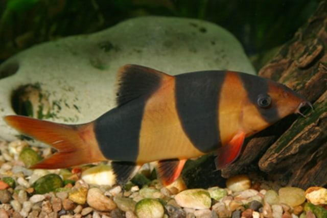 Ikan Air Tawar Asli Sumatera di Provinsi Jambi di Ambang Kepunahan (12519)