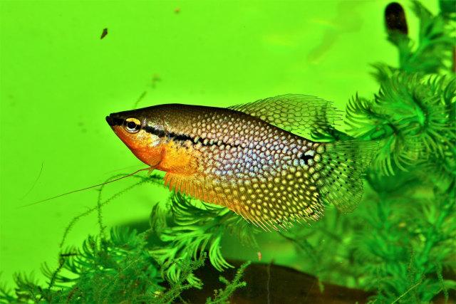 Ikan Air Tawar Asli Sumatera di Provinsi Jambi di Ambang Kepunahan (12520)