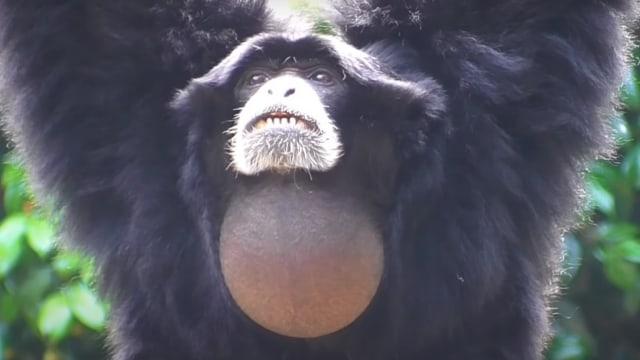 Fakta Siamang, Primata Paling Akrobatik Dengan Suaranya yang Khas (177035)