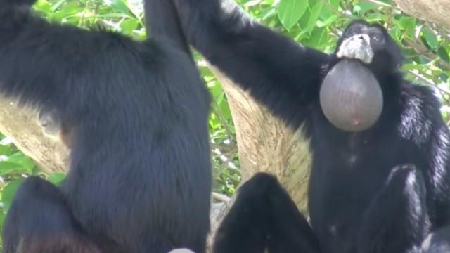 Fakta Siamang, Primata Paling Akrobatik Dengan Suaranya yang Khas (177036)