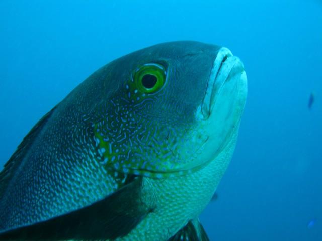 Ini Ikan Kakap Tertua di Dunia, Sudah Hidup Sebelum Indonesia Merdeka (15789)