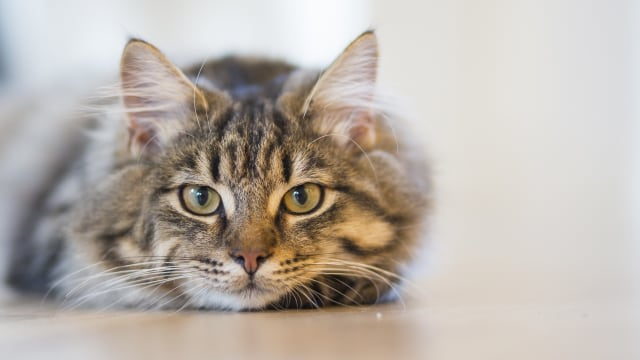 Kenali 7 Tanda Kucing Mengalami Stres (29017)