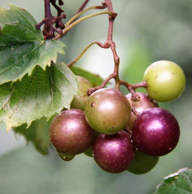 Riset: Cokelat Hitam, Teh Hijau, dan Anggur Muscadine Dapat Melemahkan COVID-19 (42115)
