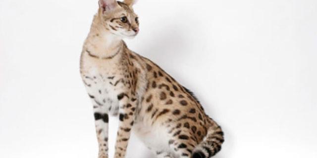 Jiwa Misqueen Meronta Lihat Kucing Peliharaan Termahal, Ada yang Seharga Alphard (339138)