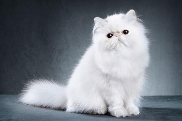 Jiwa Misqueen Meronta Lihat Kucing Peliharaan Termahal, Ada yang Seharga Alphard (339137)