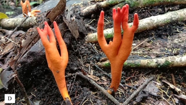 Jamur Ekor Naruto atau Jamur Karang Api Ditemukan Kembali di Indonesia (241181)