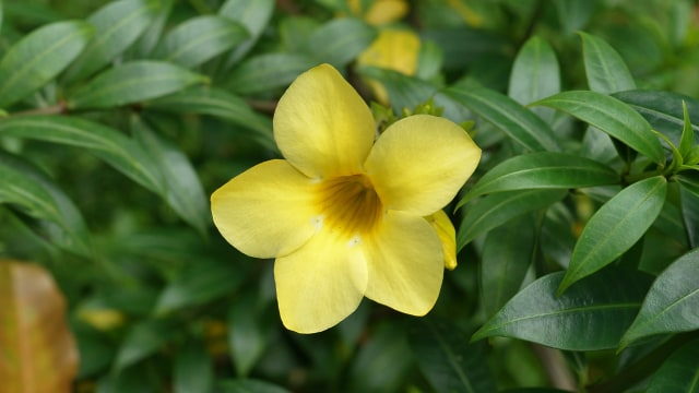 Cara Rawat Allamanda Cathartica, Tanaman Hias Cantik Sekaligus Obat Herbal (41024)