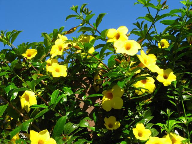 Cara Rawat Allamanda Cathartica, Tanaman Hias Cantik Sekaligus Obat Herbal (41023)