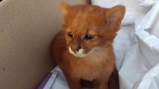 Cewek Ini Mengira Pelihara Anak Kucing, Ternyata Puma Jaguarundi (16179)