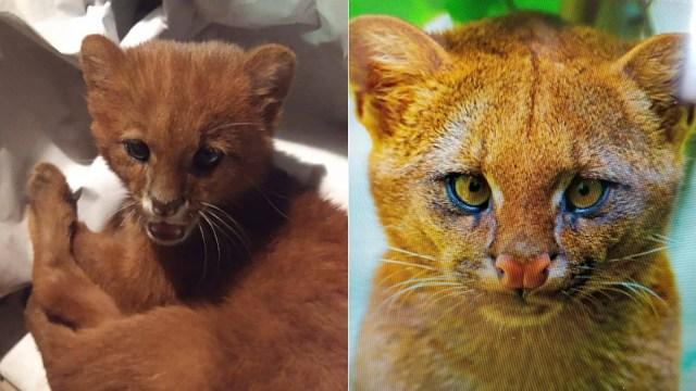Cewek Ini Mengira Pelihara Anak Kucing, Ternyata Puma Jaguarundi (16178)