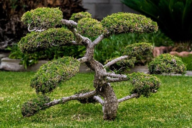 Ulasan Singkat Tentang Pohon Bonsai  (26523)