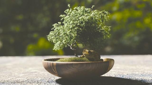 Ulasan Singkat Tentang Pohon Bonsai  (26524)