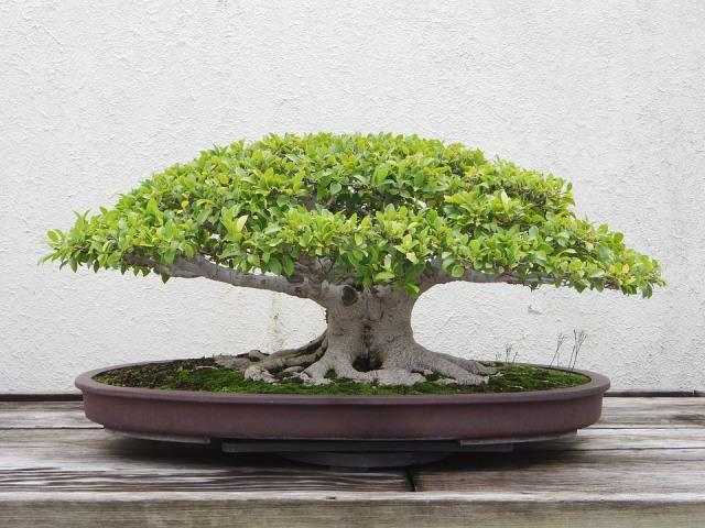 Ulasan Singkat Tentang Pohon Bonsai  (26525)