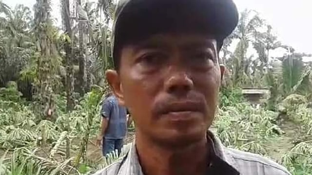 Tangis Pasrah Aswadi usai 650 Pohon Pepayanya Ditebang Orang Tak Dikenal (120803)