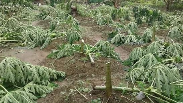 Tangis Pasrah Aswadi usai 650 Pohon Pepayanya Ditebang Orang Tak Dikenal (120802)