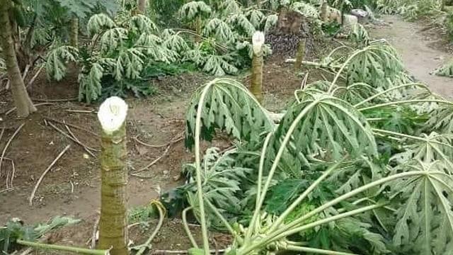Tangis Pasrah Aswadi usai 650 Pohon Pepayanya Ditebang Orang Tak Dikenal (120804)