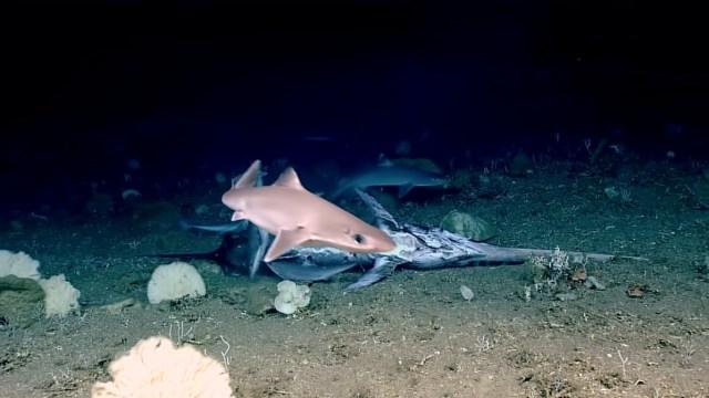 Inilah Ikan Raksasa yang Bisa Makan Hiu secara Utuh (558525)