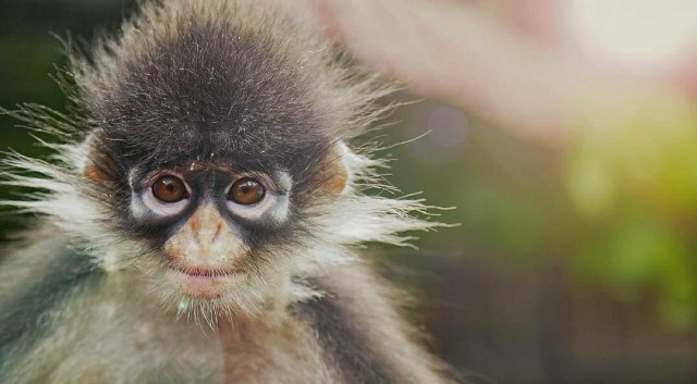 Monyet Kekah, Primata Langka di Natuna (244902)