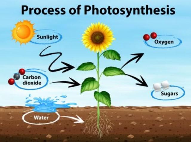 Fotosintesis Pada Tumbuhan Mengenal Proses Dan Reaksinya Kumparan Com
