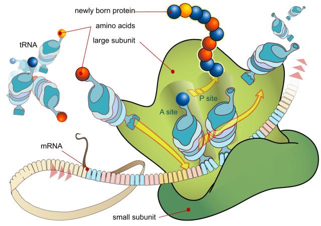 Sintesis Protein dan 3 Prosesnya Dalam Tubuh (4984)