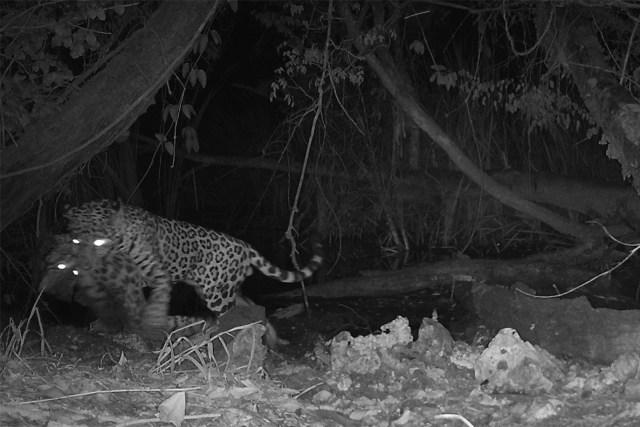 Momen Langka Jaguar Bunuh Kucing Liar Terekam Kamera, Predator Saling Memangsa (272422)