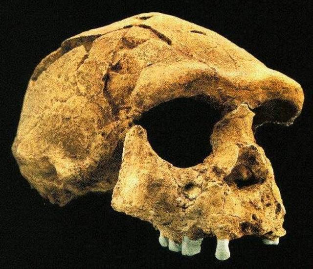Pithecanthropus Erectus: Penemu dan Penjelasan Mata Rantai yang Hilang (6521)