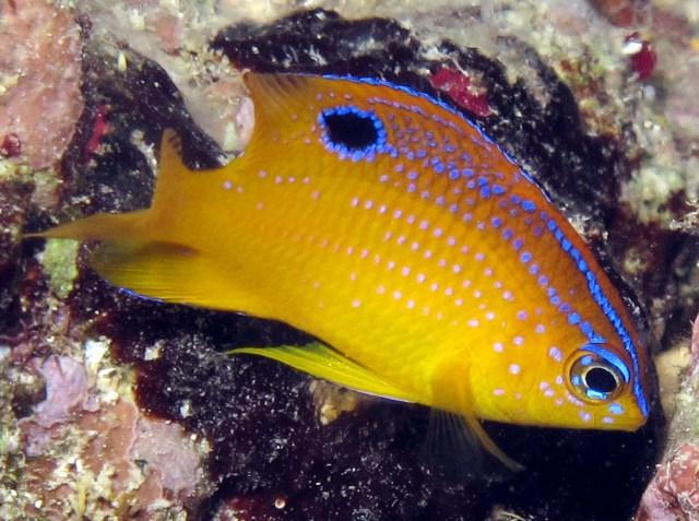 Mengenal Ikan Petani yang Jago Bertani dan Beternak udang (29870)