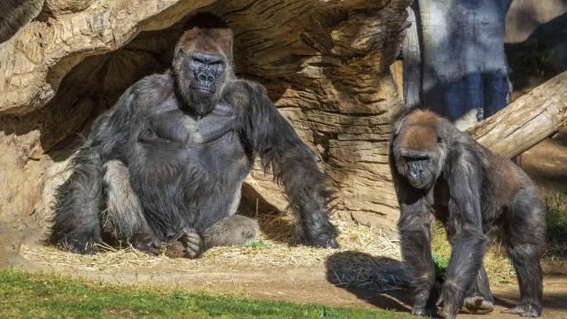 13 Gorila Positif Covid Sekaligus di Kebun Binatang, Kok Bisa? (78727)