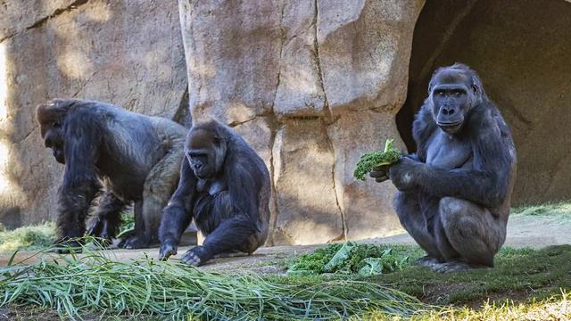 13 Gorila Positif Covid Sekaligus di Kebun Binatang, Kok Bisa? (78726)