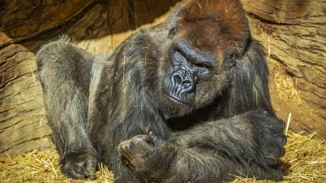13 Gorila Positif Covid Sekaligus di Kebun Binatang, Kok Bisa? (78728)