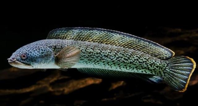 Bea Cukai Entikong Gagalkan Upaya Penyelundupan Puluhan Ekor Ikan Channa (130798)