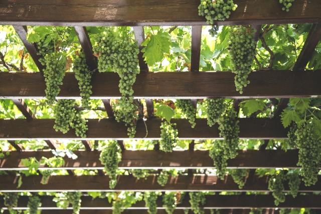 Menolak Nganggur dengan Bertani Anggur (244708)