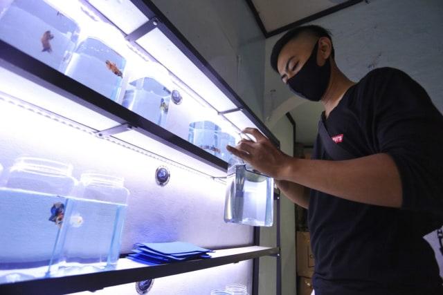 Booming Ikan Cupang, Karang Taruna Ini Tertarik Budidayakannya (62559)