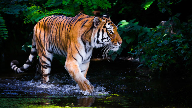 Seekor Harimau yang Lepas di Sinka Zoo Singkawang Tewas Usai Dilumpuhkan (351808)